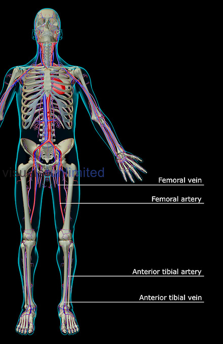 An anterior view of the vascular system. The surface anatomy of the body is semi-transparent and tinted turquoise. Royalty Free
