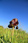 Iris atropurpurea in Sharon region