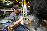 NWA Democrat-Gazette/BEN GOFF @NWABENGOFF<br /> Jace Galyean of Gravette, a member of the Centerton 4-H club, grooms his heifer named Miss America for the beef showmanship event Thursday, Aug. 8, 2019, during the Benton County Fair in Bentonville. Miss America won the Maine Angus category earlier in the day to advance to the evening event.