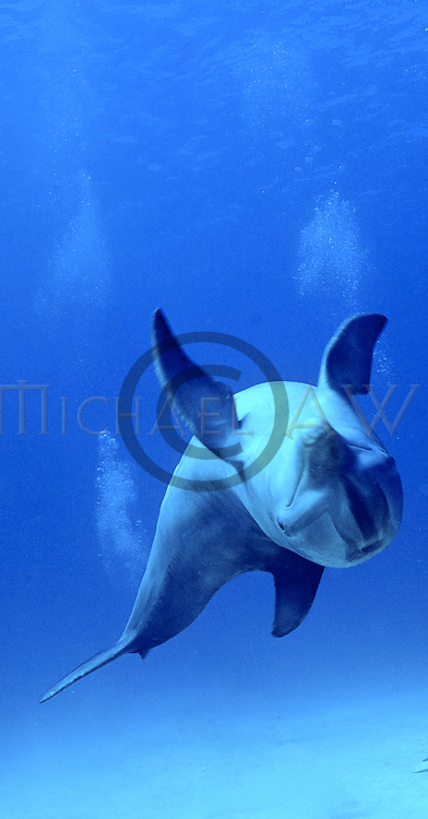 Common Bottle nose, Atlantic Bottlenose Dolphin (Tursiops truncatus). Bahamas
