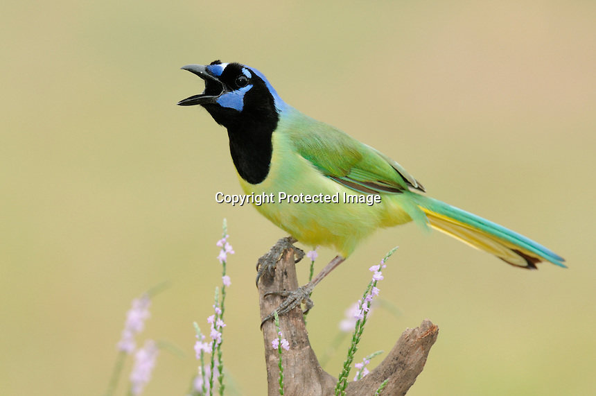 A green jay on a mesquite perch calling out to others nearby.