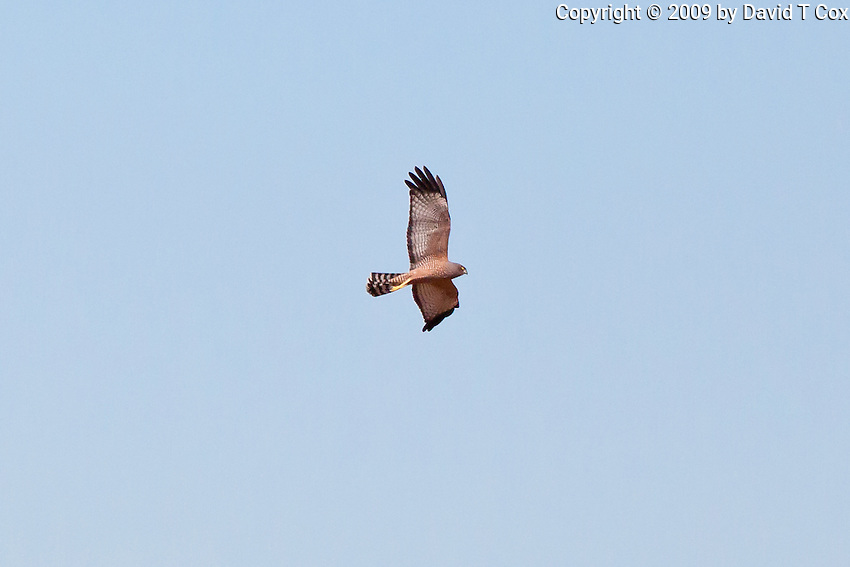 Spotted Harrier, Normanton - Cloncurry road, Queensland, Australia