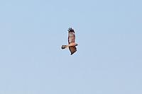 Spotted Harrier, Normanton - Cloncurry road, Queensland, Australia