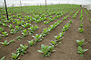 Tobacco seedlings growing under netting to protect from the sun on  Plantacion Alexander Robaina farm near Pinar del Rio; Cuba; prior to planting out,
