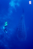 Scuba diver swimming with whale shark, underwater view (Licence this image exclusively with Getty: http://www.gettyimages.com/detail/73014041 )