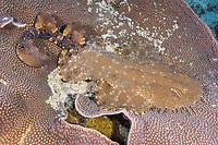 Adult Tasselled Wobbegong or Carpet shark Eucrossorhinus dasypogon ambushing prey while displaying cryptic behavior and coloration on plate coral, Raja Ampat, West Papua, Indonesia