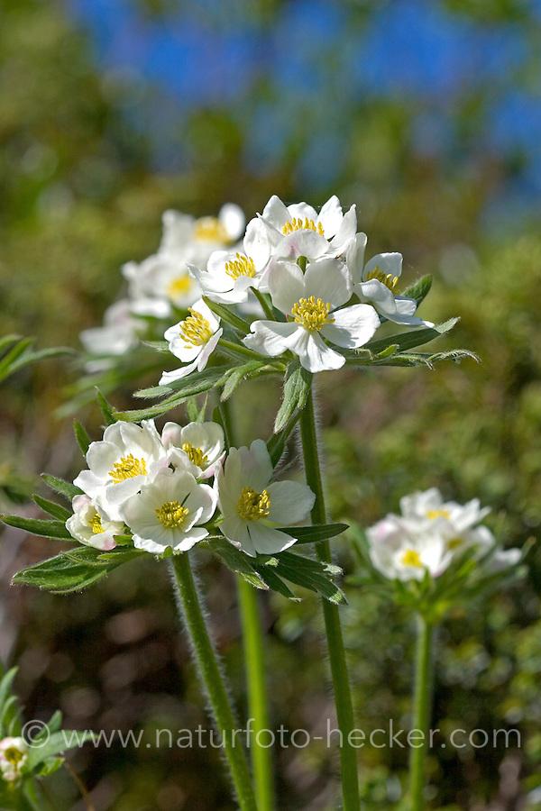 Narzissen-Windröschen, Narzissenblütiges Windröschen, Berghähnchen, Berghähnlein Berghünlein, Anemone narcissiflora, Anemonastrum narcissiflorum, narcissus anemone, Narcissus-flowered anemone