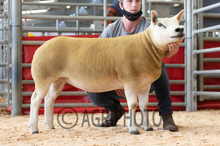 29.8.2020 The Welsh National Sale of Texel sheep, Welshpool Livestock Market<br /> Lot 24 owned by Robert Bennett sold for 2100 gns <br /> ©Tim Scrivener Photographer 07850 303986<br />      ....Covering Agriculture In The UK.