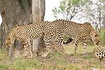 Cheetah symmetry in the Kwara Reserve, Okavango Delta, Botswana.