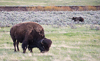 Bears will typically avoid bison.