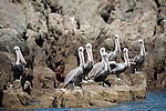 Sea of Cortez, Baja California, Mexico; a flock of Brown Pelican (Pelecanus occidentalis) birds on the rocky shoreline