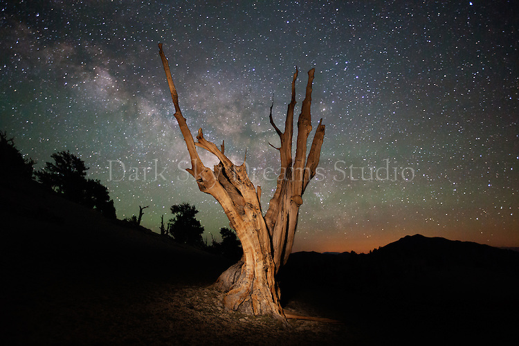 Milky Way Rises over Ancient Bristlecone Pines