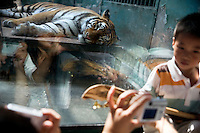 A tiger sleeps in a small concrete and glass cage as people crowd and bang on the window in the lion and tiger house at the Tianjin Zoo in Tianjin, China.