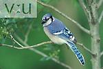 Blue Jay ,Cyanocitta cristata,