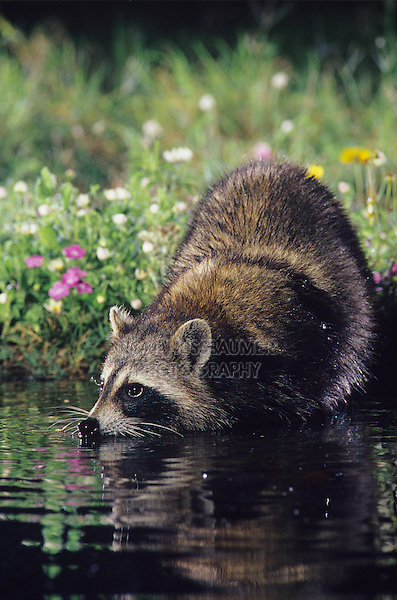 Northern Raccoon, Procyon lotor, adult drinking at night, Willacy County, Rio Grande Valley, Texas, USA, May 2004