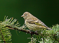 Pine siskin (Carduelis pinus) Adult in an alert pose perched on a fir branch and showing a bit of its yellow wing color.<br />