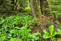 Forest and Skunk Cabbage, Whidbey Island, Washington