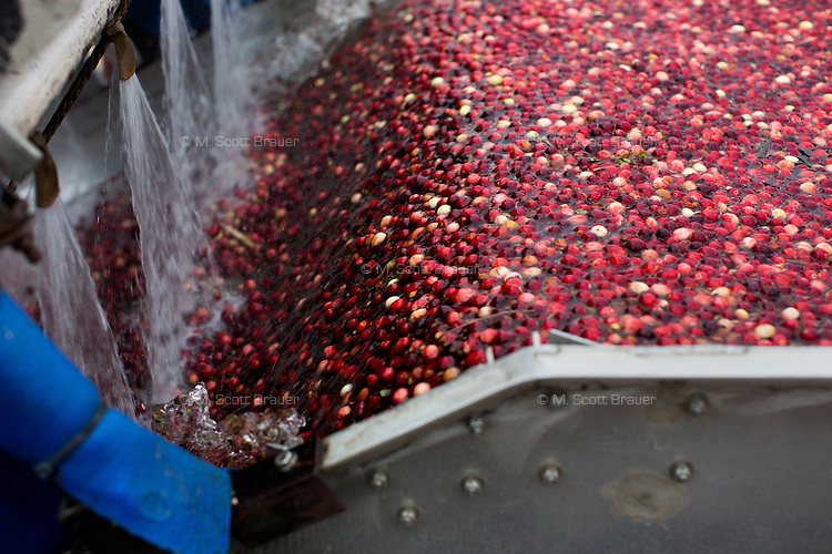 A worker unclogs a cleaning machine filled with harvested cranberries during the AD Makepeace Company's 10th Annual Cranberry Harvest Celebration in Wareham, Massachusetts, USA. AD Makepeace is the world's largest producer of cranberries. These cranberries, wet harvested with varied colors, are destined for processing into juice, flavoring, canned goods and other processed foods.