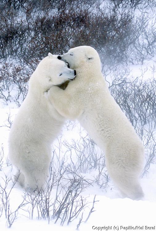 Polar Bears fighting.(Ursus maritimus).Churchill, Canada