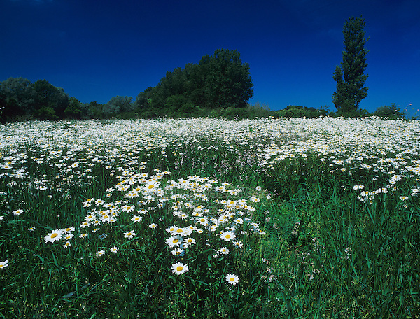 Oxeye Daisy, Leucanthemum vulgare, blooming, Fretterans, France, May 1996