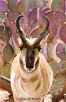 0606-1112  Pronghorn (Prong Buck) in Sonoran Desert, Antilocapra americana  © David Kuhn/Dwight Kuhn Photography