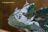 CH50-520z Female Veiled Chameleon molting old skin, close-up of head,  Chamaeleo calyptratus