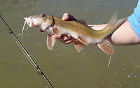 NWA Democrat-Gazette/FLIP PUTTHOFF <br /> Redhorse suckers aren't much to look at, but the beauty is in their fight,     April 26 2018  particularly on a fly rod.