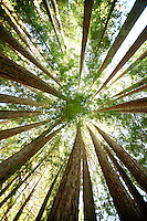 The view looking up at Redwood Trees in Pfeiffer Big Sur State Park, California. The park is located off of the famously scenic Highway One in Big Sur.
