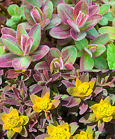 Euphorbia Bonfire in two stages, early spring color and in yellow flower, composite picture
