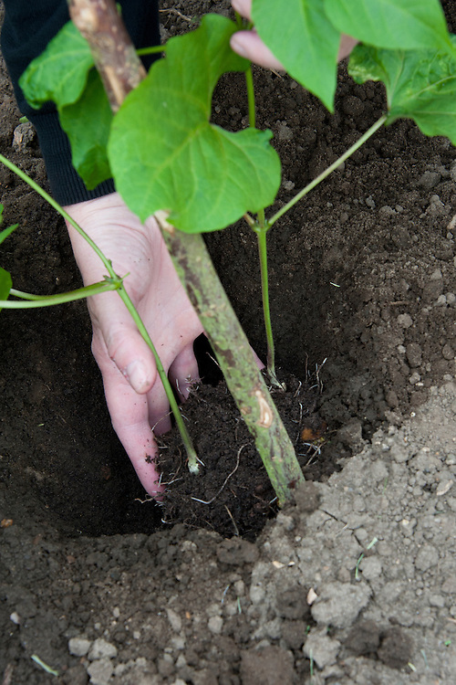 Planting out runner bean seedlings. Sequence 1, image 4 of 5.