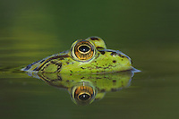 Bullfrog (Rana catesbeiana), adult in lake, Fennessey Ranch, Refugio, Coastal Bend, Texas, USA