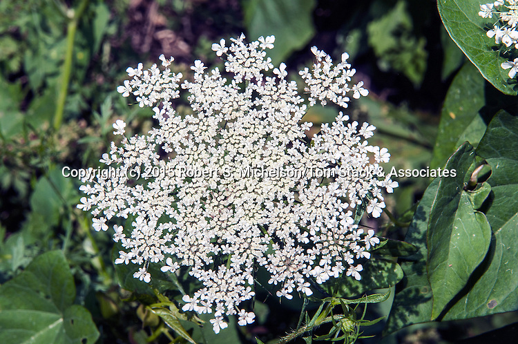 Queen Anne's Lace, Plymouth, Massachusetts