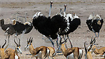 Springboks and ostriches, Ongava Reserve, Namibia
