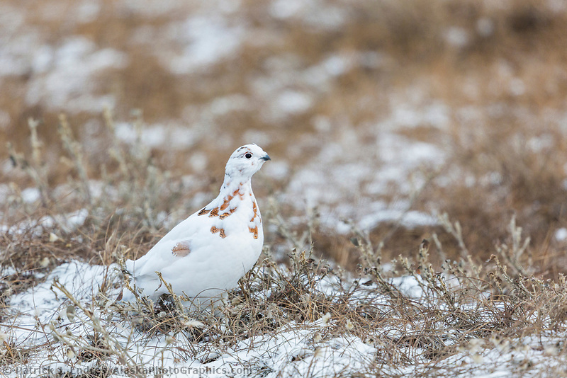 Willow ptarmigan on the turnd of the Arictic North Slope.