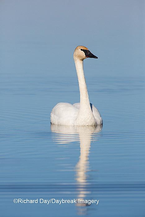 00758-01206 Trumpeter Swan (Cygnus buccinator) in wetland, Marion Co., IL