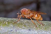 Stinkfliege, Coenomyia ferruginea, Stinkfliegen, Coenomyidae