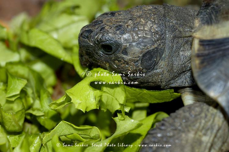 Moorish Turtle (Testuda graeca moresque) eating lettuce.