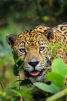 Jaguar (Panthera onca), Central America.