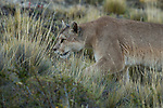 Mountain Lion (Puma concolor) female stalking, Torres del Paine National Park, Patagonia, Chile