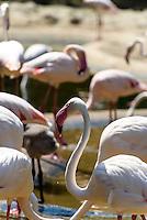 Rosaflamingo (Phoenicopterus roseus) captive im Tierpark Schönbrunn, Wien, Österreich, <br /> Rosaflamingo (Phoenicopterus roseus) captive in zoo Schönbrunn, Vienna, Austria