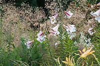Lilium 'Fanfare' white flowering fragrant Oriental Trumpet Lily in perennial border; Bellevue Botanical Garden