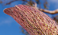 The still-growing tip of the agave (Agave vilmoriniana) inflorescence.