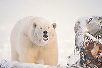 polar bear, Ursus maritimus, Arctic National Wildlife Refuge, North Slope of Alaska, polar bear, Ursus maritimus
