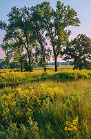 Grasslands at Glacial Park are a mix of yellow late summer wildflowers and green grasses just staring to turn, Glacial Park, McHenry County, Illinois