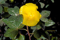 Mao or Hawaiian cotton (Gossypium tomentosum) is a native Hawaiian shrub