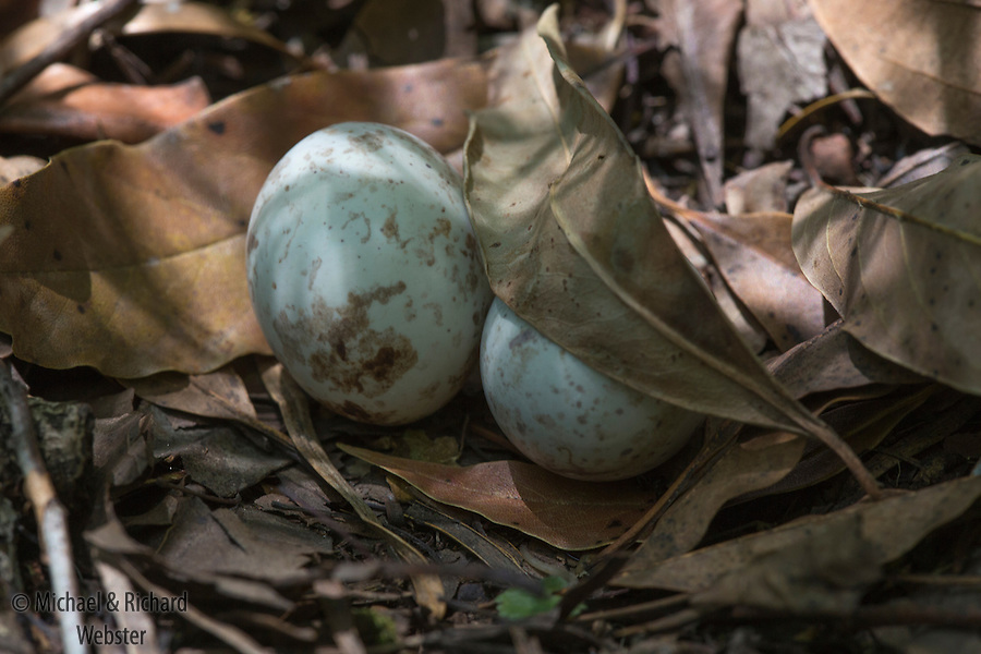 Eggs of Rufous Nightjar, Southern Yungas rainforest, Argentina.