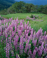 Redwood National Park, CA:  Open meadow with bigleaf lupine (Lupinus polyphyllus) above hills of Oregon white oaks (Quercus garryana) on Bald Hills Road