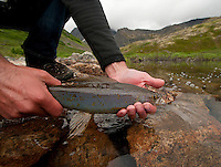 Releasing an Arctic Grayling, Alaska.