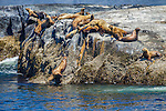 Northern or Steller sea lions (Eumetopias jubatus), British Columbia, Canada