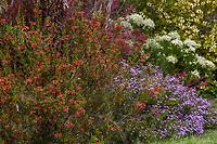 Erica speciosa, red flowering shrub, Cape Heath from South Africa in shrub border; UC Santa Cruz Arboretum & Botanic Garden